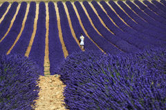 Lovers walking among lavender, Valensole, Provence. Young Asian couple walking between blossoming lavender field on the Plateau of Valensole in Provence, France Stock Photos