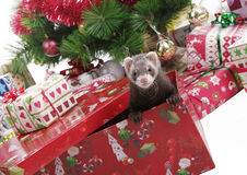 He loves Christmas. Christmas tree, Christmas decoration, Christmas gifts and a ferret popping out of one Royalty Free Stock Photography
