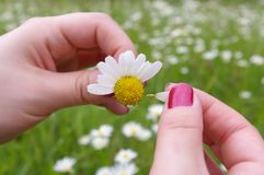 He loves me,... A girl playing He loves me, he loves me not by tearing off petals of a daisy stock photo
