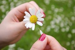 He loves me,... A girl playing He loves me, he loves me not by tearing off petals of a daisy royalty free stock images