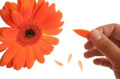Loves me... loves me not. Hand tearing the petals away from an orange flower Stock Images