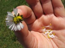 She Loves Me, She Loves Me Not. A view of a hand holding a daisy with some of the petals pulled off, reminding one of the game where one alternatingly says, She Stock Photo