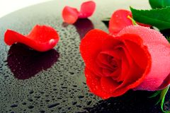 She loves me, she loves me not... A wet rose with petals torn off lies on a wet black piano top, closeup shot Stock Image