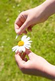 Loves me, loves me not. Plucking off the petals of a chamomile Royalty Free Stock Photo