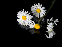 Loves me, loves me not daisies. Childhood game. Stock Images