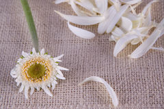 Loves Me, Loves Me Not Daisy on Burlap Stock Photography