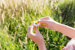 Loves or not guessing game with camomile flower. Royalty Free Stock Photo