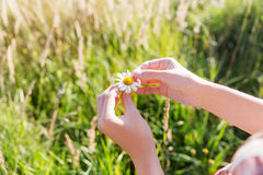 Loves or not guessing game with chamomile flower. Royalty Free Stock Images