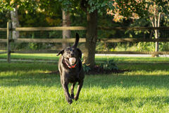 Loves to Fetch. Black lab running with tennis ball in mouth playing fetch royalty free stock photos