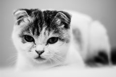 A lovely suspicious cat on the bed. A lovey Scottish cat lays on the bed, looking so suspicious to the owner Royalty Free Stock Photo