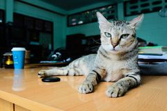 A lovely angry cat on the desk. A lovey Thai cat lays on the desk, looking so angry to the owner Stock Image