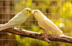 Loving budgerigars Stock Images