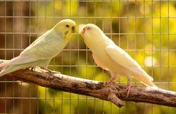 Loving budgerigars Stock Images