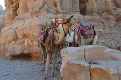 A loving couple of camels. royalty free stock image