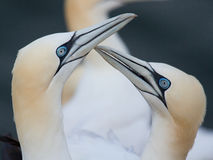 Loving couple of gannets. A loving couple of gannets on Helgoland Stock Photography
