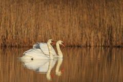 Free Loving Couple Swans Stock Images - 70239064