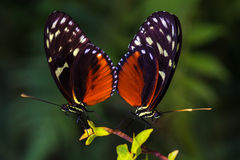 A loving couple. Tropical butterflies dido longwing on the leaf. Macro photography of wildlife Royalty Free Stock Photos