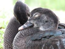 Loving ducks Royalty Free Stock Photo