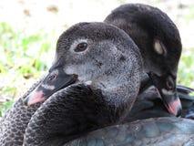 Loving ducks Stock Photos