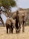Loving elephants, mother and child Stock Image
