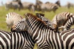 Loving Embraced Zebras Royalty Free Stock Image