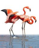 Loving flamingo couple Royalty Free Stock Image