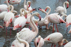 Loving flamingos in the Camargue, France stock photography