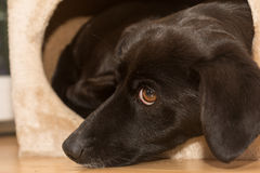 Loving gaze of a black dog Stock Image