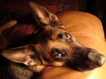 Loving German Shepherd Eyes. Soft lighting of German Shepherd on leather sofa Royalty Free Stock Image