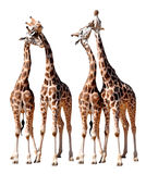 Loving Giraffes. Love Giraffes isolated on white background Royalty Free Stock Photos