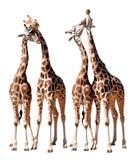 Loving Giraffes Royalty Free Stock Photos