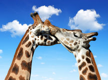 Loving giraffes Royalty Free Stock Photo