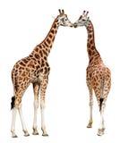 Loving giraffes Royalty Free Stock Photo