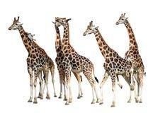 Loving giraffes Stock Images