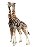 Loving giraffes Stock Photo