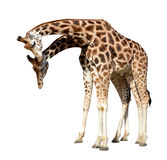 Loving giraffes Stock Image