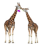 Loving giraffes Royalty Free Stock Image