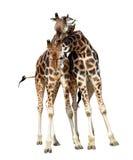 Loving giraffes Royalty Free Stock Images