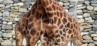 Loving giraffes Stock Image