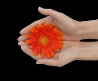 Loving Hands. Desaturated hands holding an orange daisy against black background Royalty Free Stock Photo