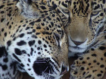 Loving Jaguar Couple Stock Photo