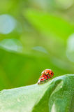 Loving ladybugs closeup Royalty Free Stock Photos