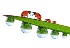 Loving ladybugs Royalty Free Stock Images