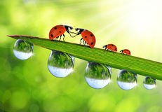 Loving ladybugs sitting on the dewy grass Stock Photo
