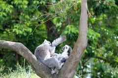 Loving lemur couple Royalty Free Stock Photography