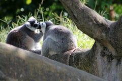 Loving lemur couple grooming Stock Photo