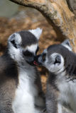 Loving lemurs. This image of a pair of lemurs was taken at a wildlife zoo in new plymouth, new zealand. Nikon D40X and 300 mm zoom Stock Photography