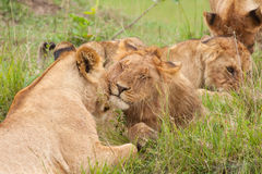 Free Loving Lions Royalty Free Stock Image - 18802416