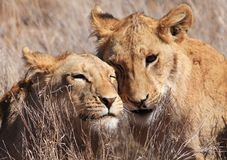 Loving lions Royalty Free Stock Photos