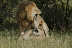 Loving lions couple in Kenya Stock Photos